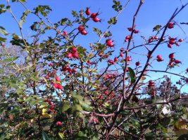 berries for sore throat